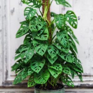 Philodendron Obliqua